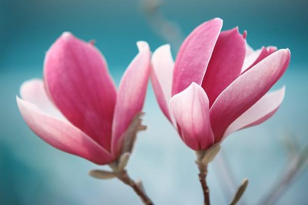 Magnolia Amore