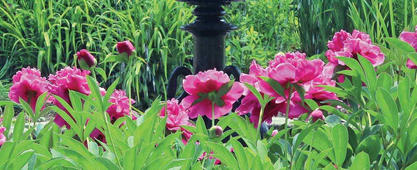 Harbingers of late spring and early summer, herbaceous peonies are fragrant and glorious perennials.