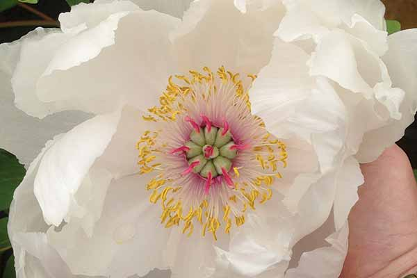 A white tree peony with dinner-plate sized flowers