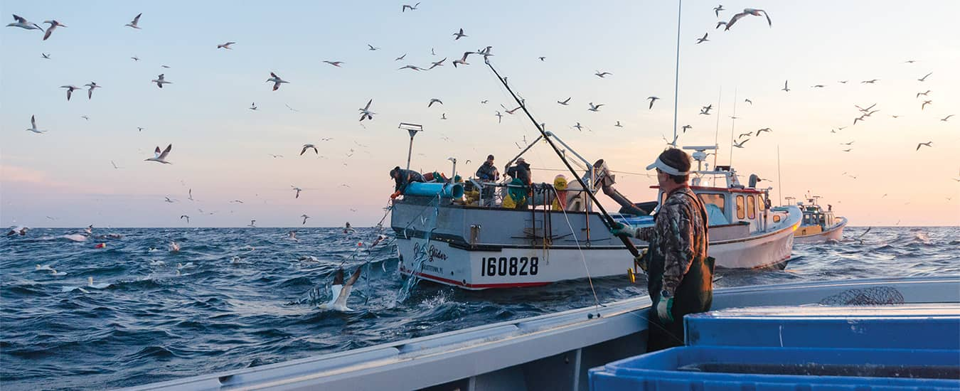 Diving northern gannets and a herring boat—a good sign of a productive tuna ground.