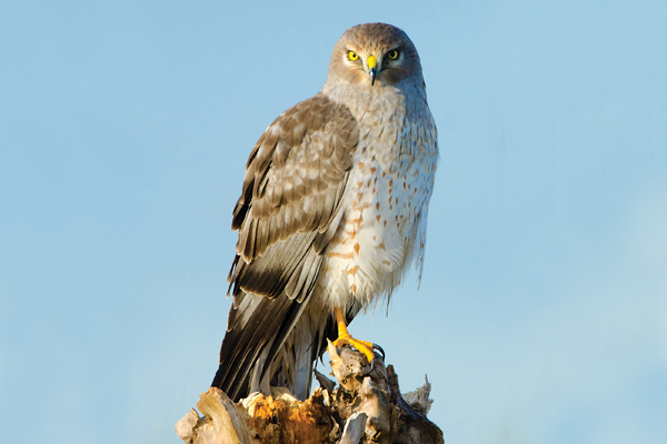 Grey, graceful, long-winged and long-tailed: the northern harrier.