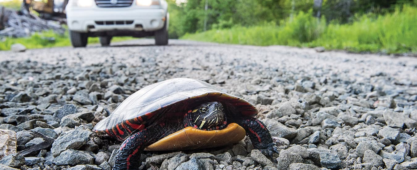 Painted turtles will often lay their eggs on a gravel bank or road.