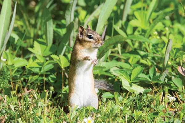 A young chipmunk surveying the lawn it is on.