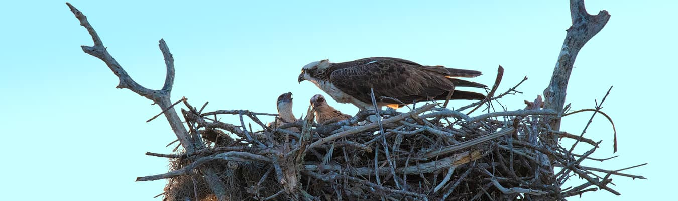 An adult osprey tends to its young. Bald eagles often force food away from ospreys labouring to feed their young.