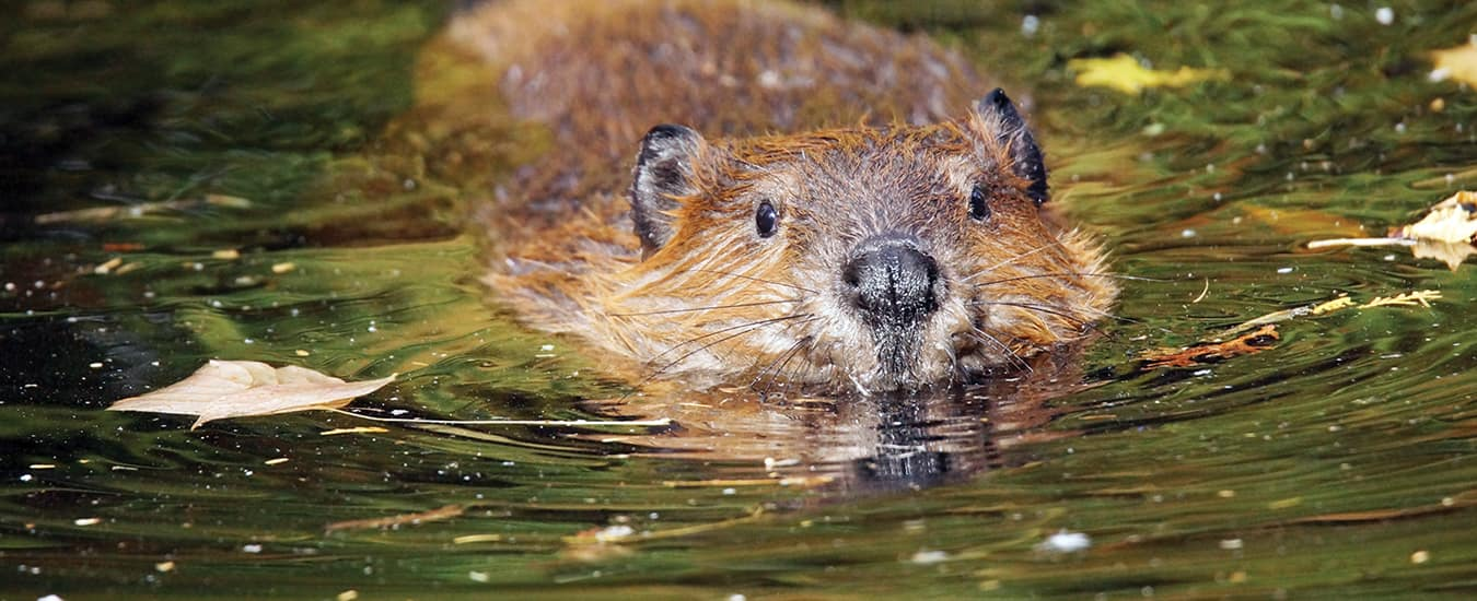 Beavers swim with webbed hind feet, using their large tail as a rudder.