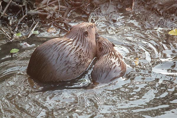 Beavers like to live in colonies. Pairs mate for life, with last year's young and kits of the year forming a family unit.