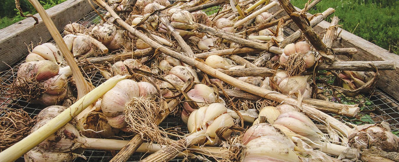 After harvesting your garlic bulbs, they need to be cured or air dried for at least several weeks, either by hanging in a dry, dark location or curing on screens to allow for good air flow around each bulb.