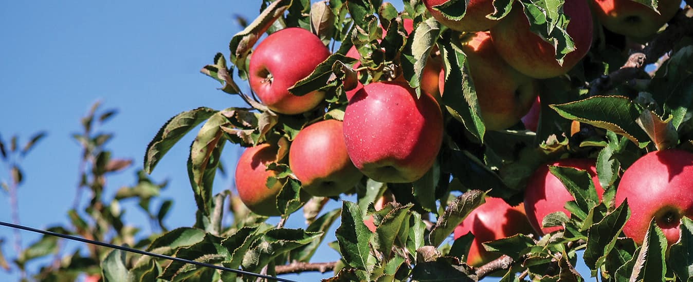 Jonagold apples ripening in the early autumn sunshine.