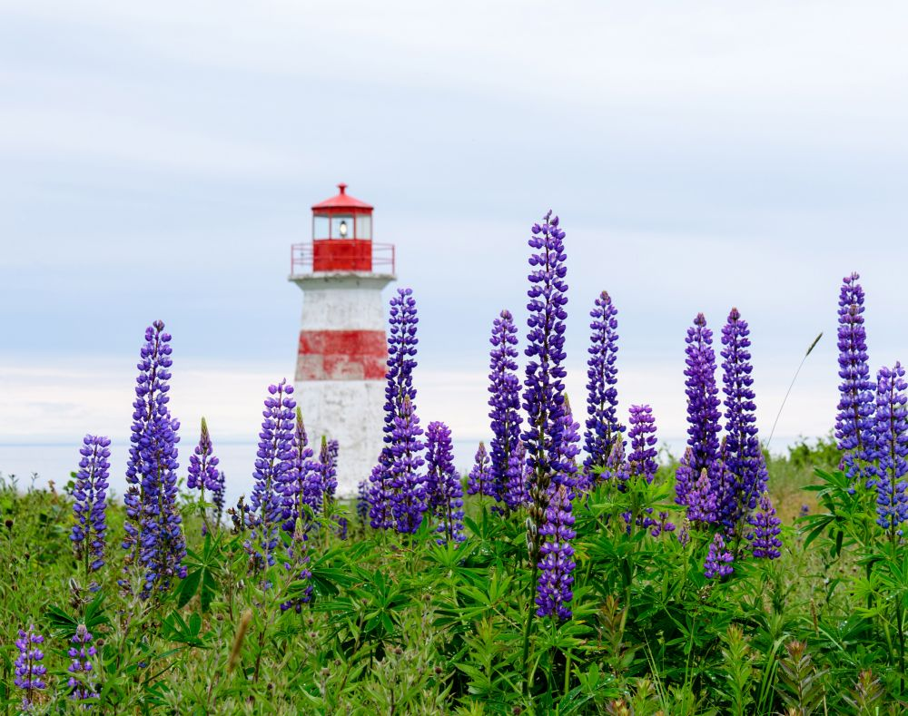 """Lupins at Musquash Head Lighthouse"", by Jason Jeandron. Taken at Musquash, NB."