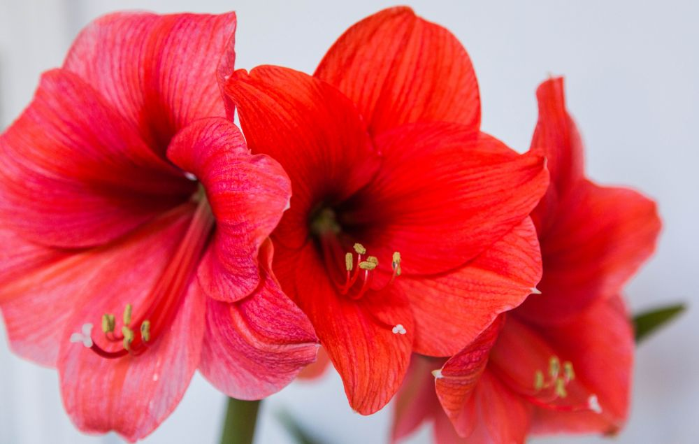 """""""the two year wait for an amaryllis"""", by Rachael Mosley. Taken at In my house."""