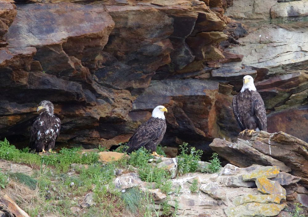 """Bald Eagles"", by Michael DeLang. Taken at Bird Islands, near Englishtown on Cape Breton Island."