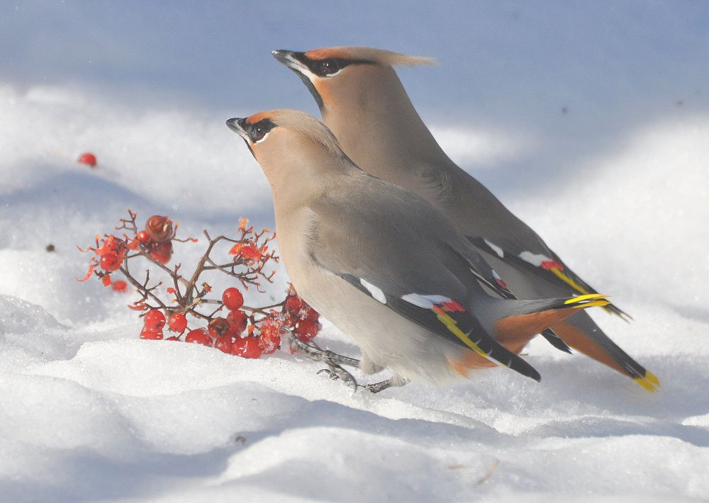 """Waxwings on snow"", by Jane LeBlanc. Taken at Bains Corner."