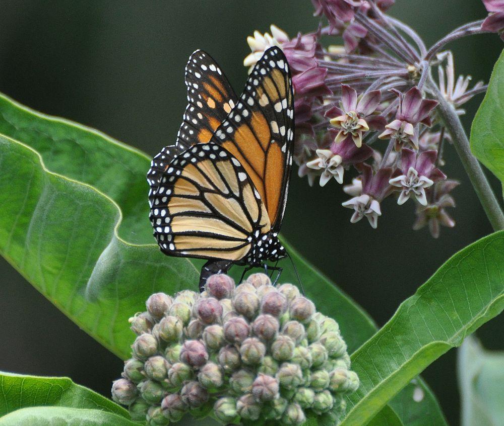 """""""Monarch laying eggs"""", by Jane LeBlanc. Taken at Bains Corner."""