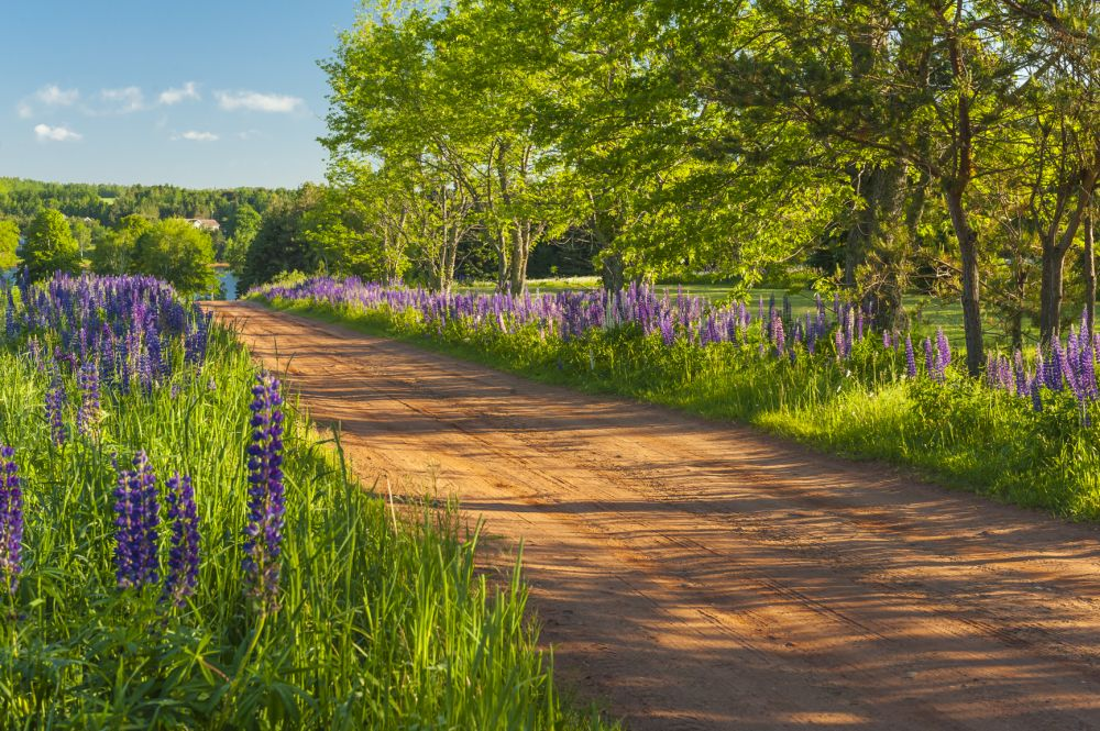 """Road of lupins, PEI"", by Ray Strickland. Taken at PEI."
