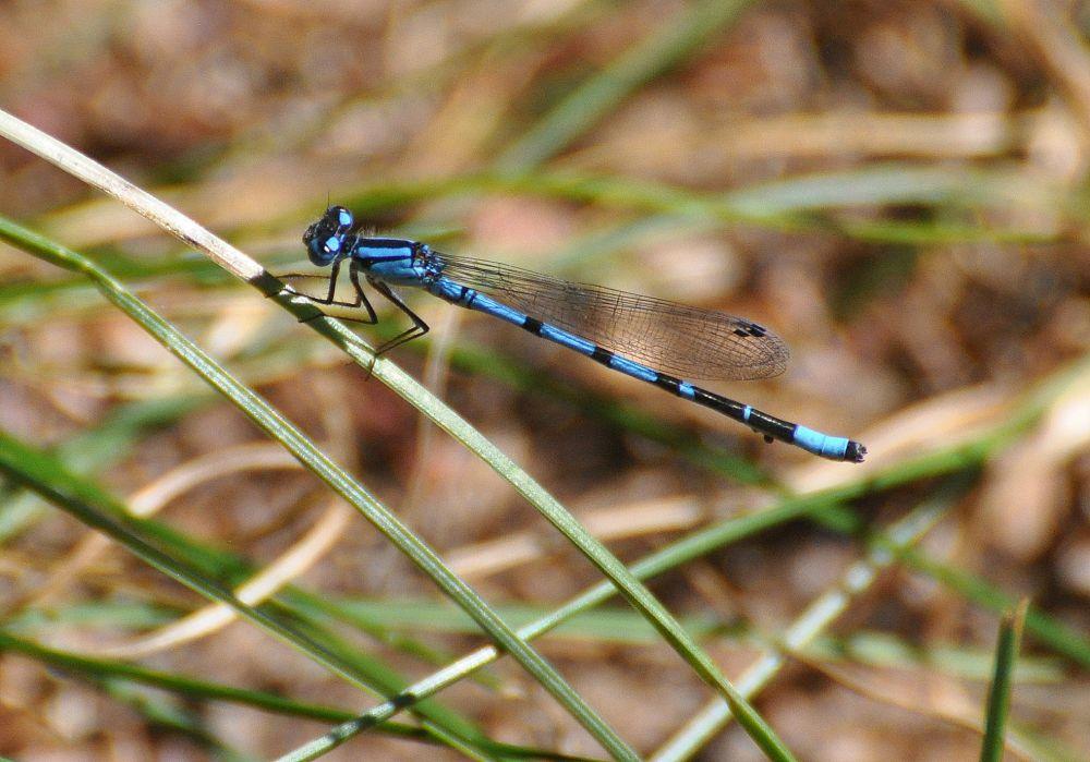 """dragonfly"", by Jane LeBlanc. Taken at St. Martins, N.B.."