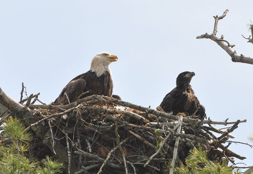 """eagles on nest"", by Jane LeBlanc. Taken at Moncton, N.B.."
