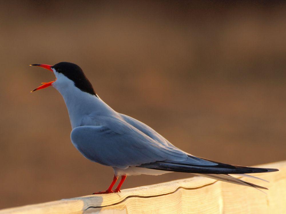 """Common Tern"", by Nancy Young. Taken at Kouchibouguac National Park, NB."