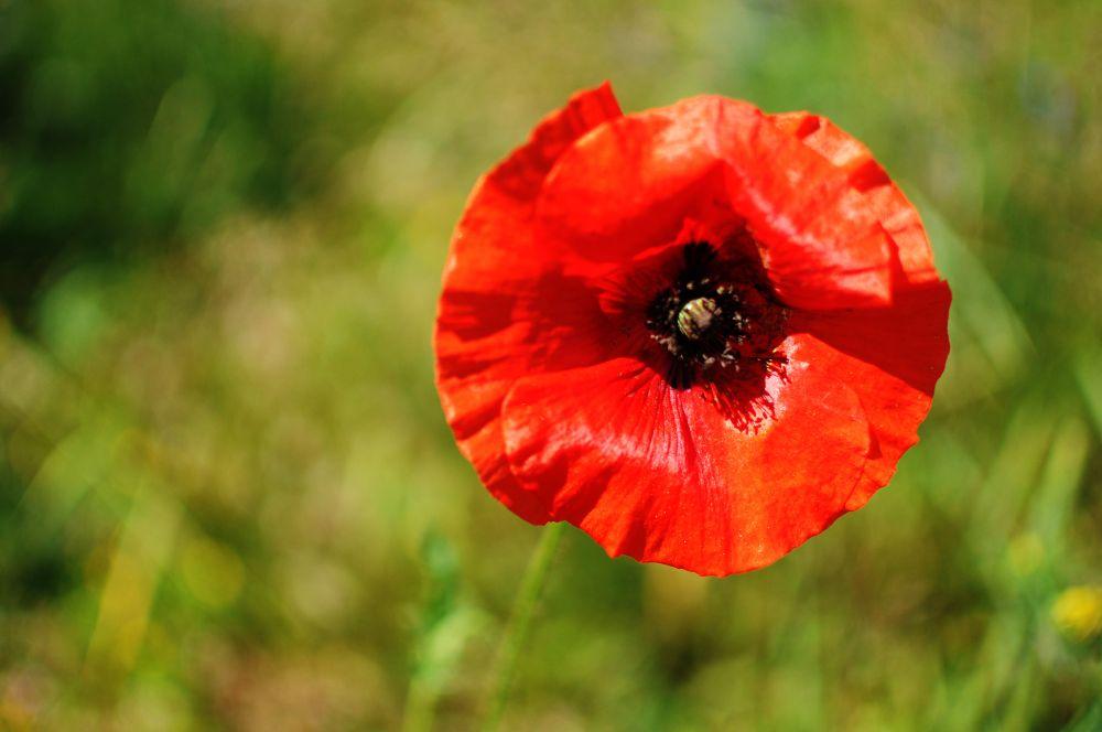 """""""Poppy"""", by Carolyn McGrath. Taken at Belfast, PEI."""