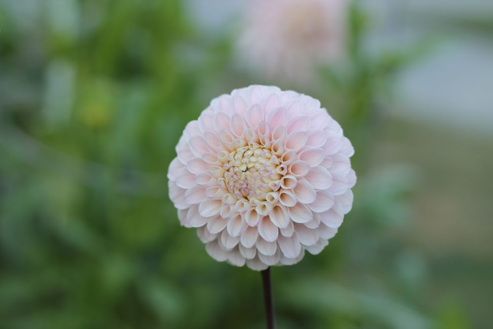 """Dahlia In Full Bloom"", by W.Marie. Taken at Halifax, Nova Scotia."