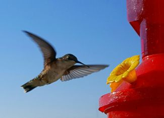 Hovering Hummingbird by