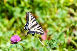 Butterfly at Killarney Lake by