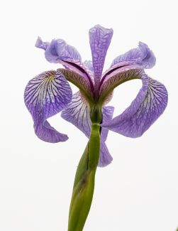 Wild Iris In Fog by