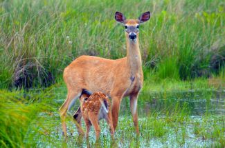 Doe and Fawn by