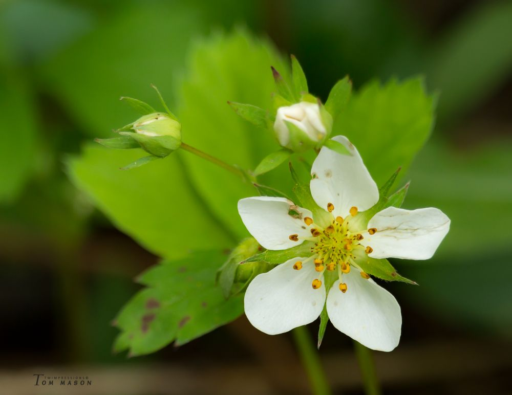 """Wild Strawberry Blossom"", by Tom Mason. Taken at St George, NB."