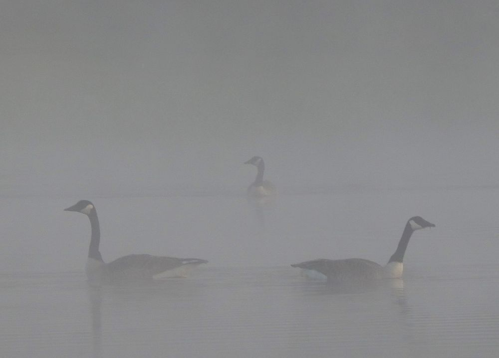 """A trio of geese"", by Darlene Rafuse. Taken at WEst Paradise, NS."