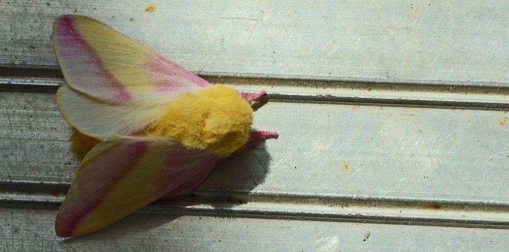 """Rosy Maple Moth"", by Abby Lorenz. Taken at UPPER TANTALLON."