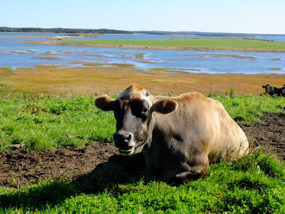 """COASTAL COW"", by G.NEARING. Taken at CHEBOGUE."