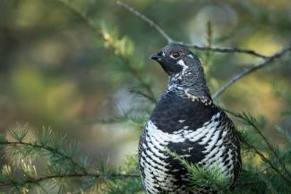Spruce grouse in a pear tree by