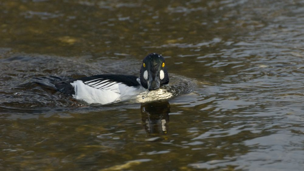 """""""Goldeneye"""", by Ray Strickland. Taken at Pictou, NS."""