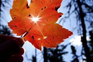 Maple leaf shine by