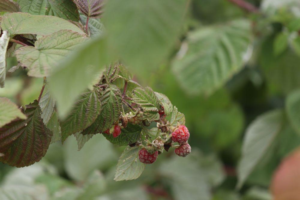"""Fall raspberry"", by Glen. Taken at Tavistock."