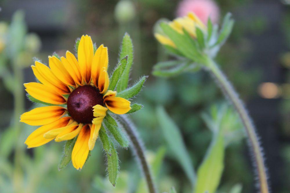"""Yellow Daisy"", by Rena Nixon. Taken at New Minas, NS."