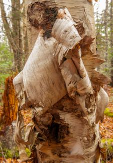 Layers of bark by