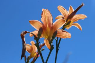 Tiger lilies by