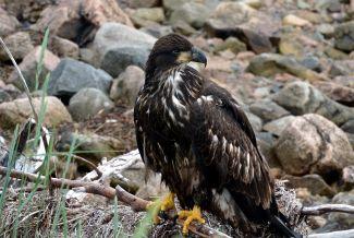 Juvenile Eagle by