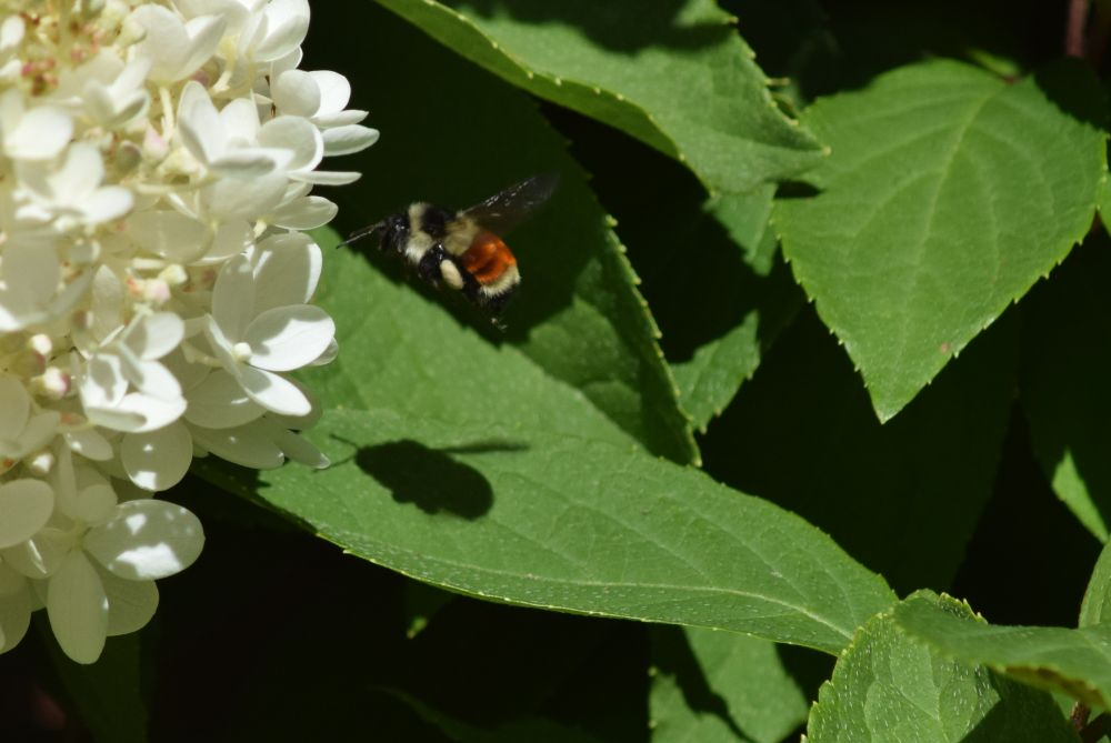 """Bee on hydrangea"", by Ray Rawding. Taken at Cape Breton."