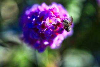Sweet Purple by