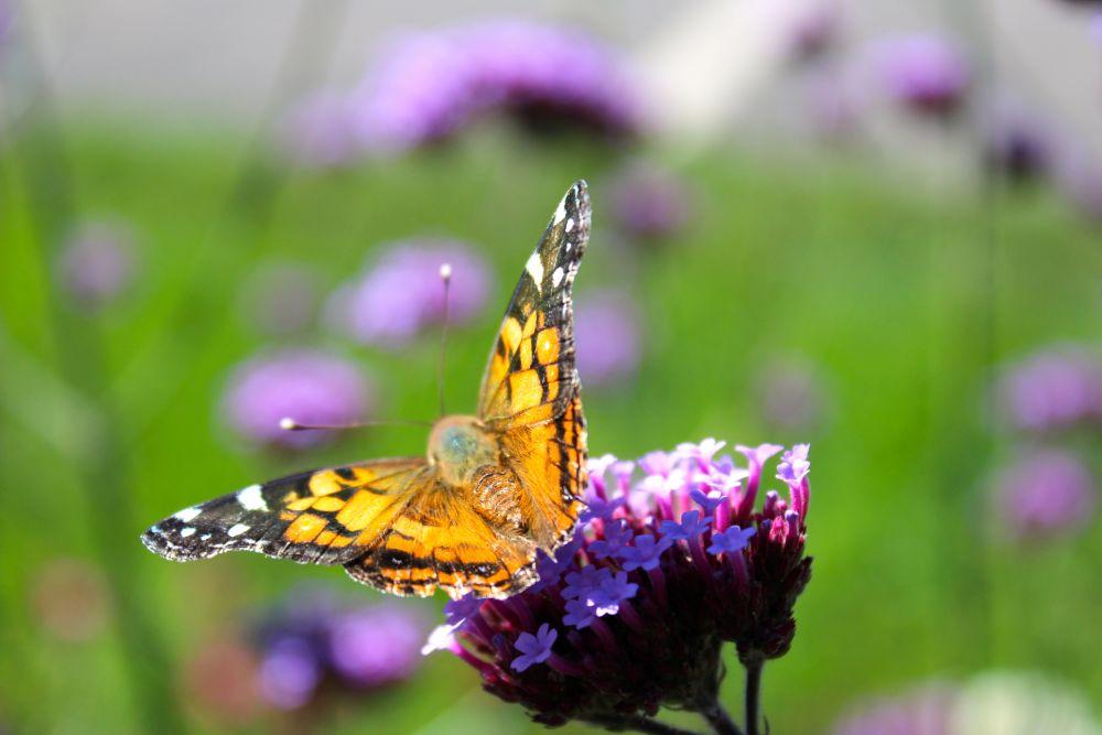 """Monarch Butterfly"", by Amanda Leslie. Taken at New Brunswick."