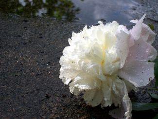 fallen flower by