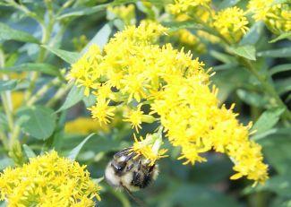 Pollen Hunter by