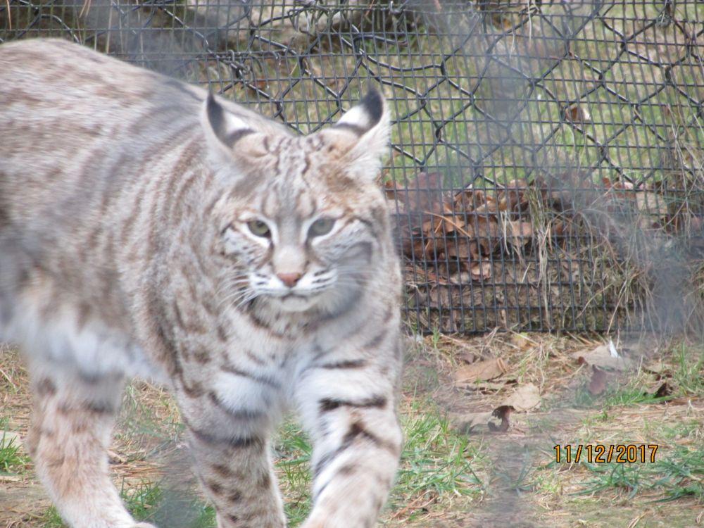 """""""Bobcat"""", by Virginia Mulock. Taken at Oaklawm Zoo, Aylesford ,N.S.."""