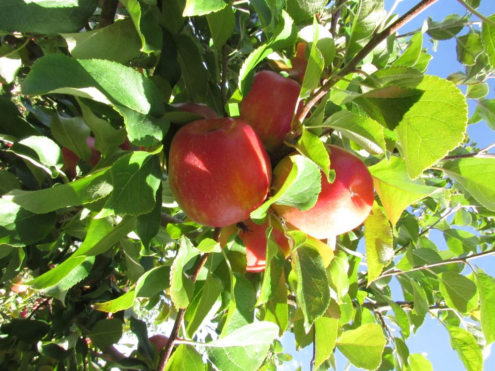 """Valley apples NS."", by mark allen. Taken at Wolfville NS."