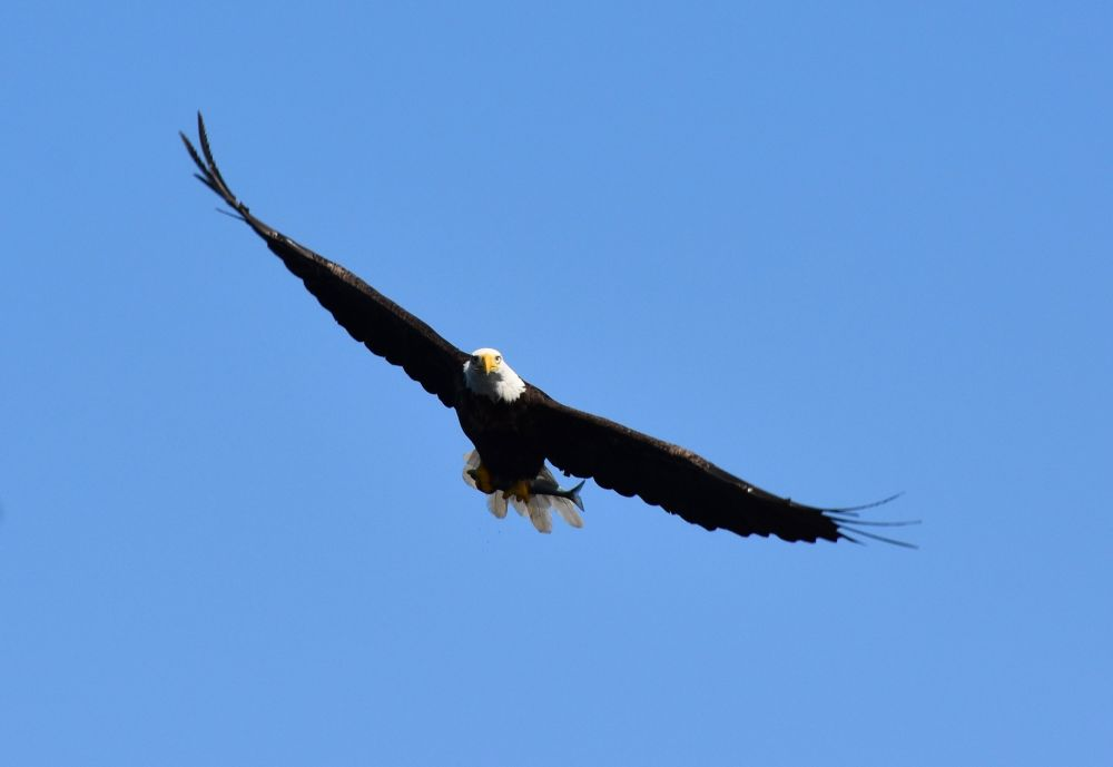 """Eagle Soaring"", by John Jesseau. Taken at Woody Point, Gros Morne NP, NL."