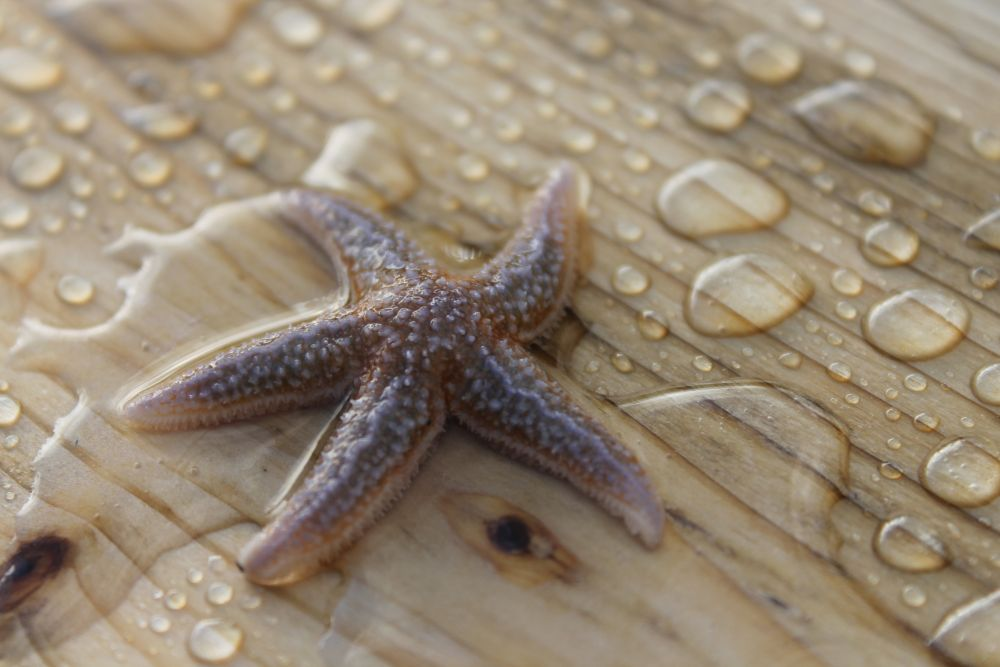 """""""Starfish on a plank"""", by Kathleen Tucker. Taken at Sacred Bay, Ship Cove, NL."""
