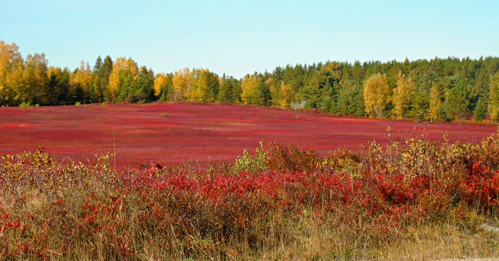 """Blueberry Fields"", by Elva Young. Taken at Brockway, N.B.."