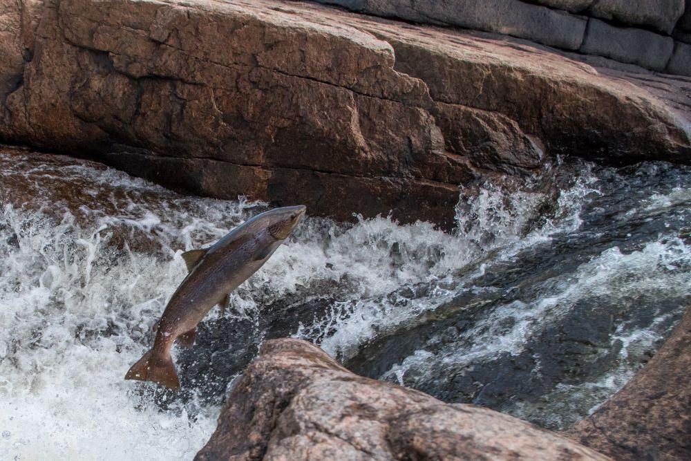 """Salmon"", by Pierre Giroux. Taken at Pabineau Falls, NB."